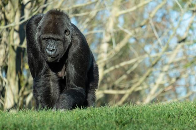 Снимок крупным планом гориллы, идущей по траве в горах
