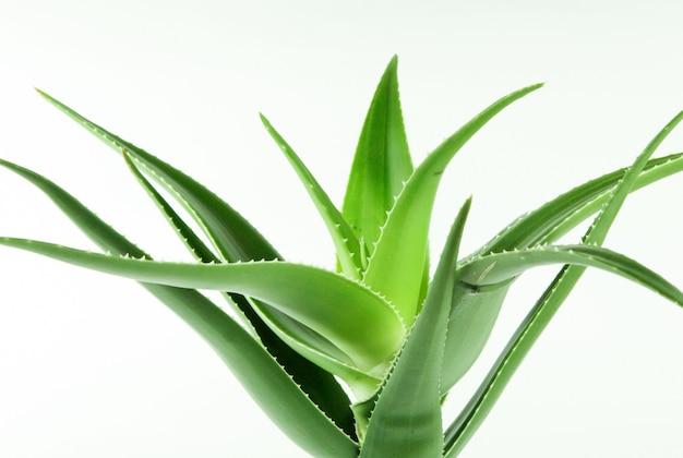 白地に緑のアロエベラの植物のクローズアップショット