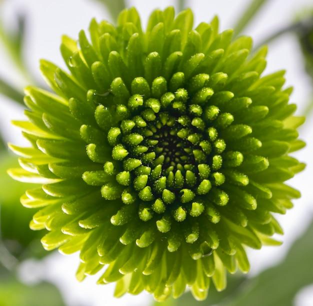 Крупным планом выстрел из зеленого цветка хризантемы