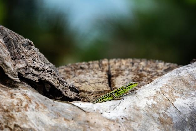 石の上の緑のトカゲのクローズアップショット