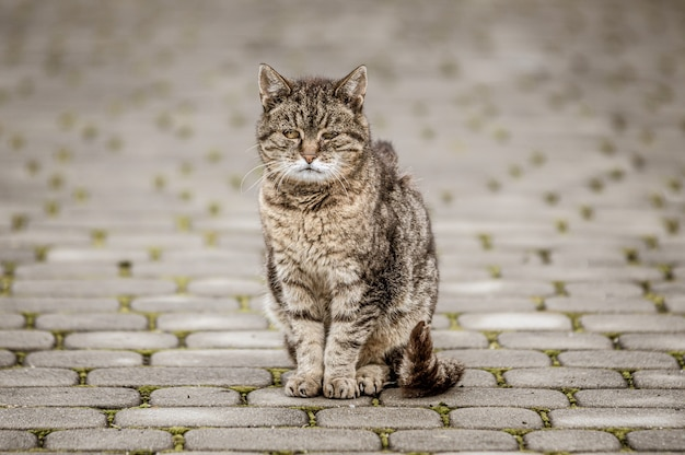 タイル張りの道路で灰色の猫のクローズアップショット