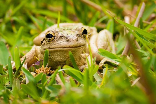 草に囲まれた灰色のカエルのクローズアップショット