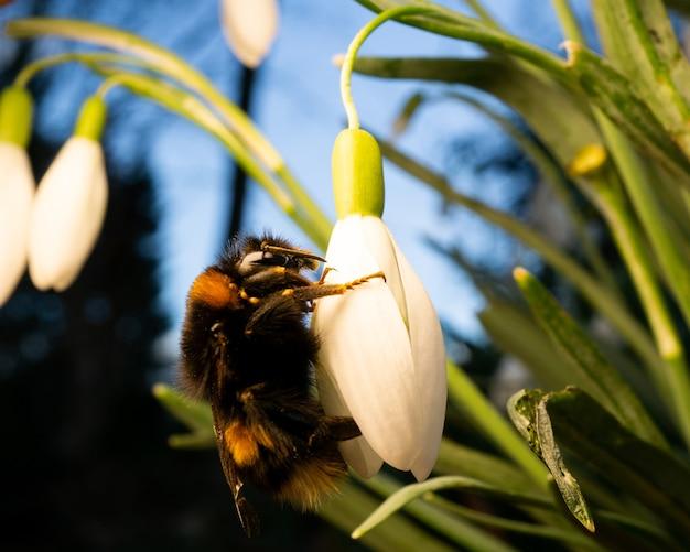 흰 꽃에 꽃가루를 모으는 털이 많은 땅벌 곤충의 근접 촬영 샷