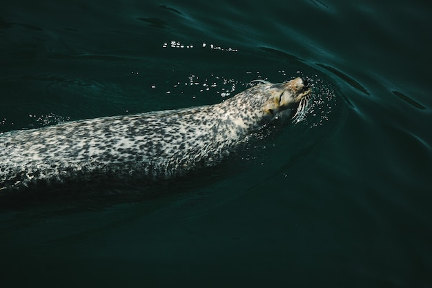 水の中を泳ぐゼニガタアザラシのクローズアップショット