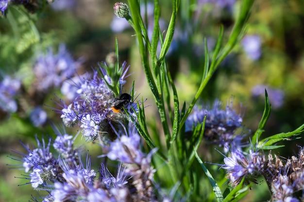 아름다운 보라색 페니 로얄 꽃에 꿀벌의 근접 촬영 샷