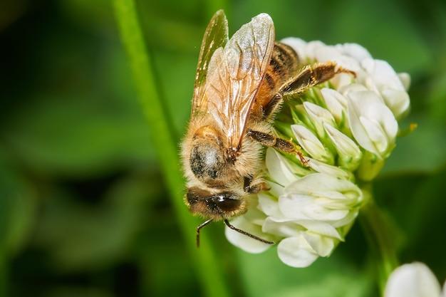 Крупным планом выстрел пчелы на белом цветке лаванды