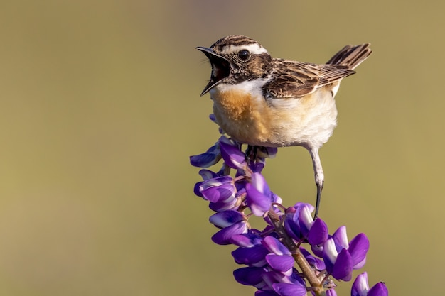 紫の花びらの花にとまる家すずめの鳥のクローズアップショット