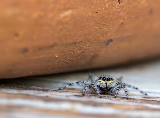 점프 거미의 근접 촬영 샷