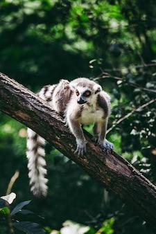 木の上のキツネザルのクローズアップショット