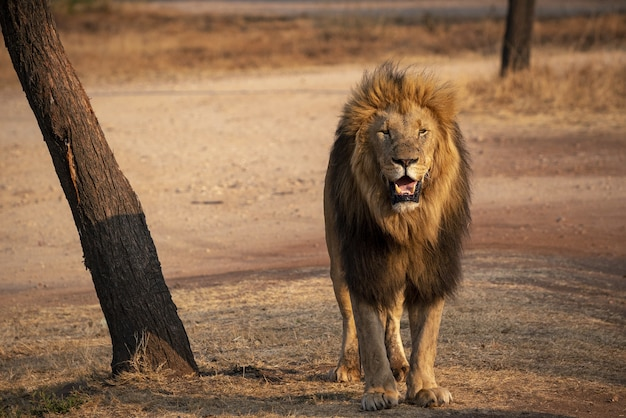 南アフリカのライオンのクローズアップショット