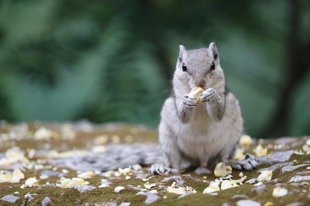 견과류를 먹는 찾고 있는 인도 야자수 다람쥐의 근접 촬영 샷