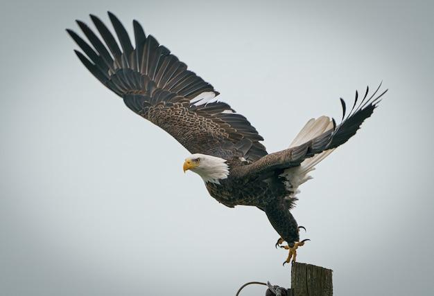 Крупный план величественного белоголового орлана, который собирается вылететь с деревянного столба в прохладный день