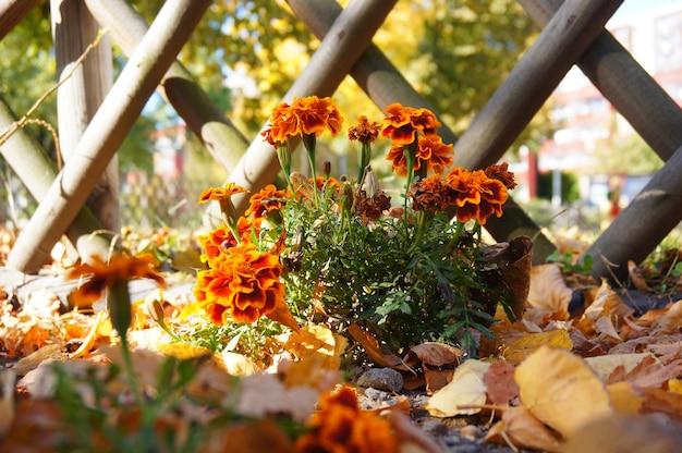 木製のフェンスに対して花が咲くとマリーゴールドの植物のクローズアップショット