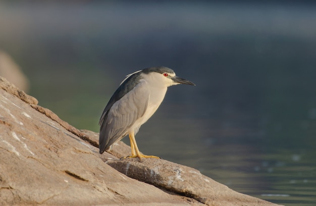 Съемка крупного плана птицы цапли ночи стоя на утесе
