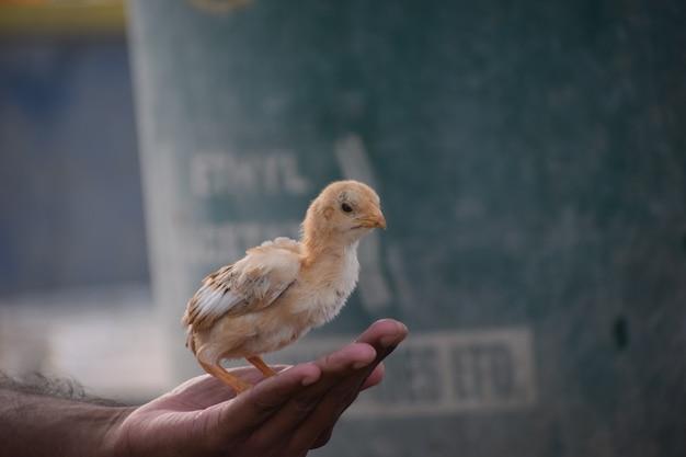 Снимок крупным планом человека, держащего милый цыпленок