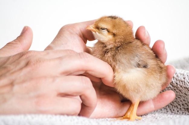 Снимок крупным планом человека, держащего коричневого цыпленка на ткани с белой поверхностью
