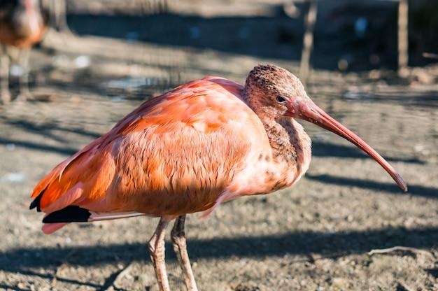 長いくちばしを持つピンクのトキ鳥のクローズアップショット