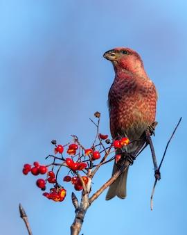 木の上に腰掛けてナナカマドの果実を食べる赤いクロスビル鳥のクローズアップショット