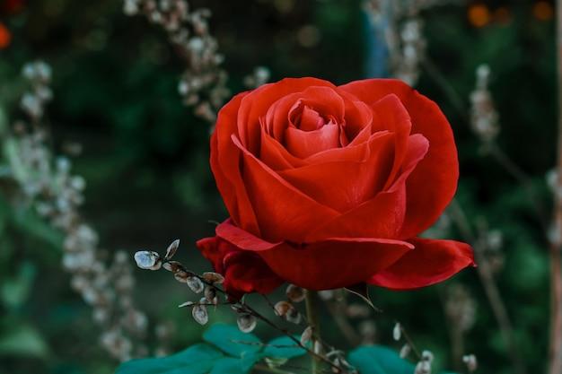 赤いバラのクローズアップショット