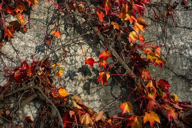 콘크리트 벽에 붉은 덩굴 식물의 근접 촬영 샷
