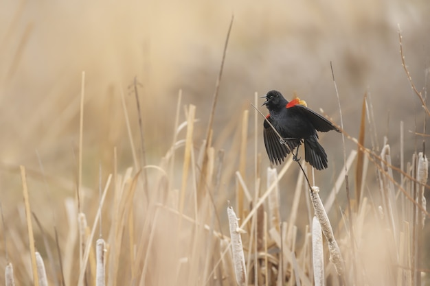 鳴きながら植物の赤い翼クロウタドリのクローズアップショット