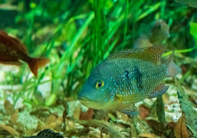 물 속에서 수영하는 redhump eartheater 물고기의 근접 촬영 샷