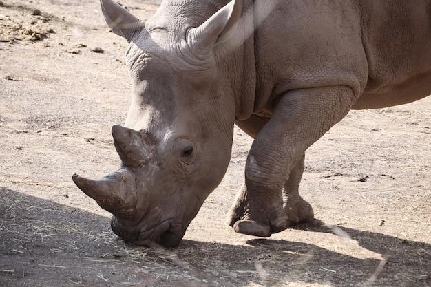 낮 동안 지상에 서있는 코뿔소의 근접 촬영 샷
