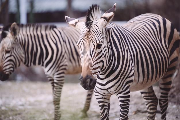 Крупным планом выстрел грустной зебры в зоопарке