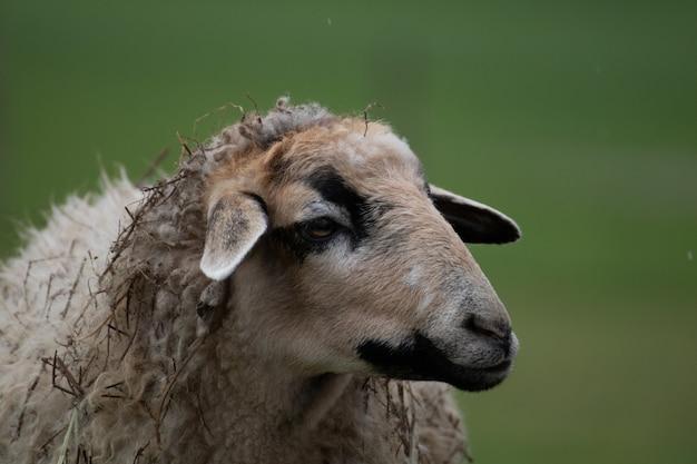 Снимок крупного плана овцы с размытым фоном