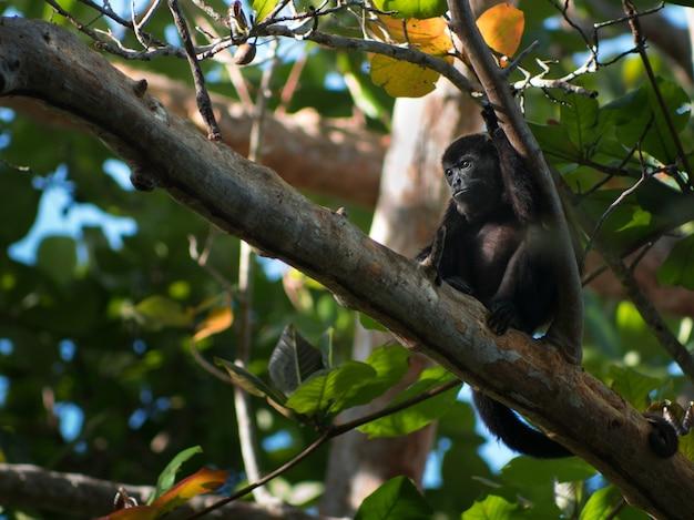 Съемка крупного плана маленькой черной обезьяны отдыхая ветвь дерева в лесе