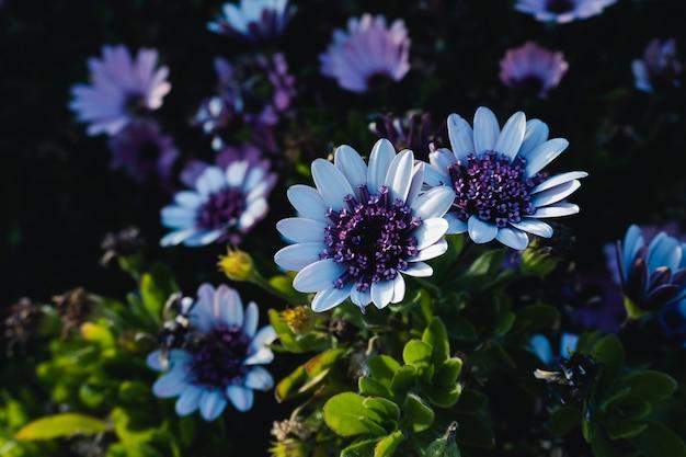 丈夫な長い開花アフリカのデイジーの小さな塊のクローズアップショット