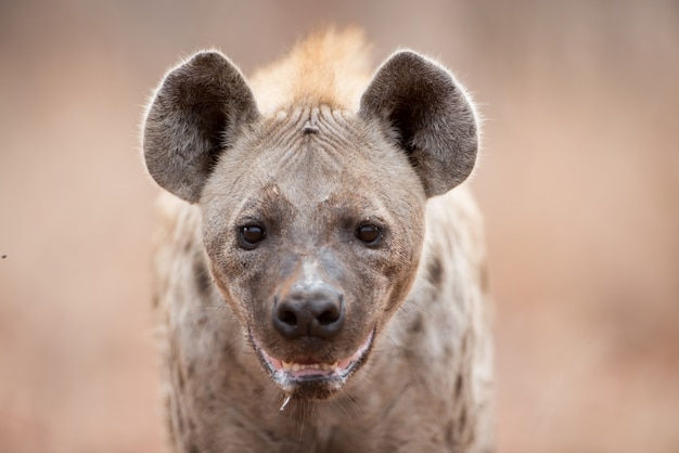 Снимок пятнистой гиены, выделяющей слюну и тяжело дышащей крупным планом