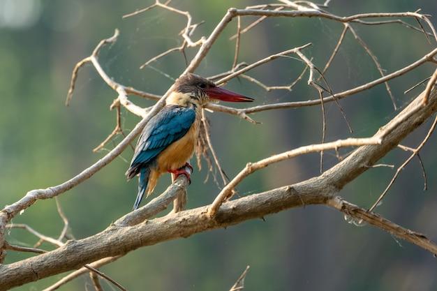 Снимок крупным планом зимородка с аистом, сидящего на ветке дерева