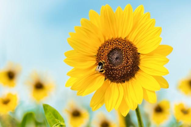 Крупным планом выстрел подсолнечника с пчелой, сидящей на нем