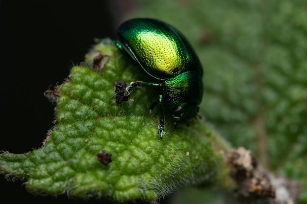 잎에 탠시 딱정벌레의 근접 촬영 샷