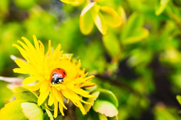 Снимок крошечной божьей коровки на красивом желтом цветке крупным планом