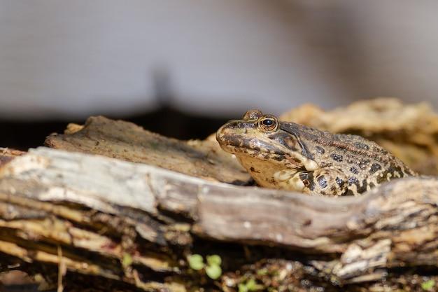 木片に囲まれたヒキガエルのクローズアップショット