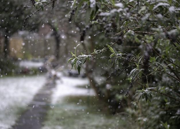 雪の降る天気で木の枝のクローズアップショット