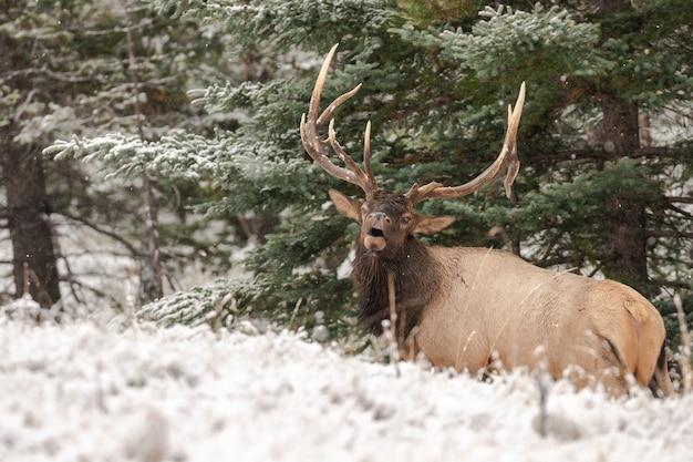 森の中のワピチ鹿のクローズアップショット