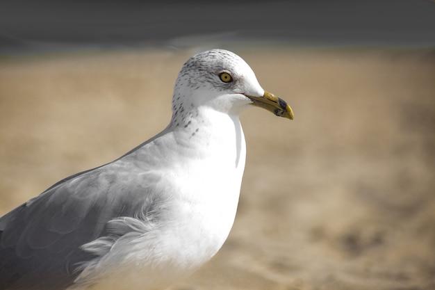 Съемка крупного плана белой европейской чайки сельди