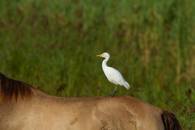 馬に乗った白いサギのクローズアップショット