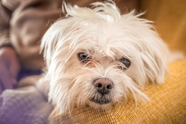 背景をぼかした写真に白いモルキー犬のクローズアップショット
