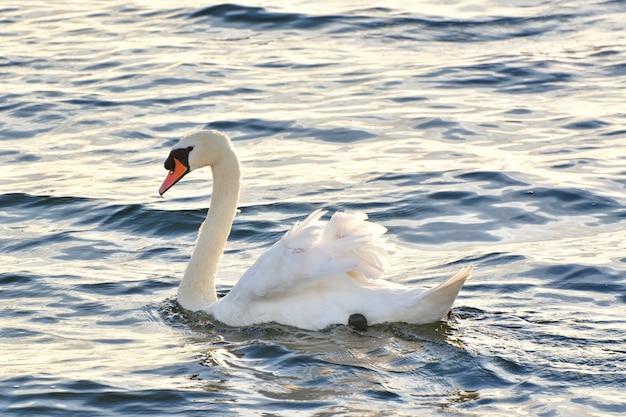 Снимок крупным планом белого лебедя на озере