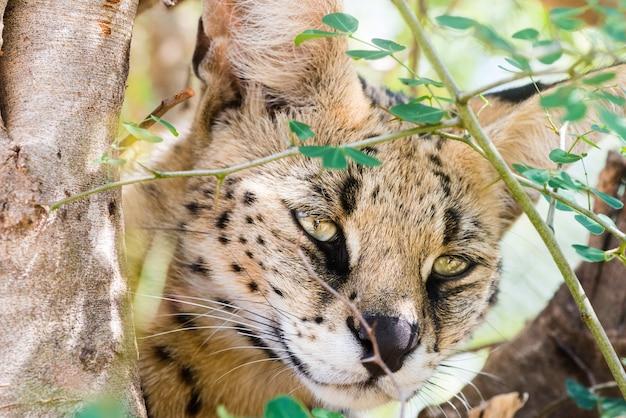 木の上の野生の猫のクローズアップショット