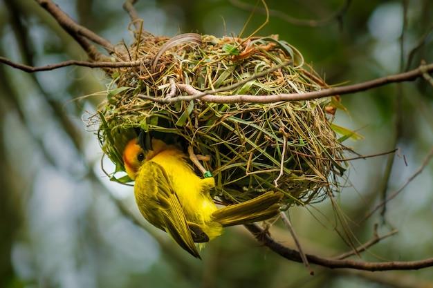 Снимок крупным планом желтой птицы на своем гнезде