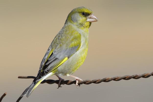 녹슨 와이어에 자리 잡고 노란색 국내 카나리아의 근접 촬영 샷