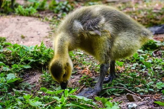 Снимок крупным планом желтой утки, стоящей в зелени