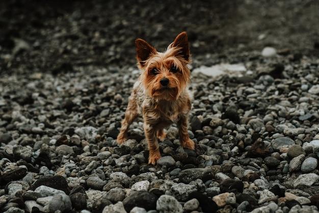 요크셔 테리어 강아지의 근접 촬영 샷