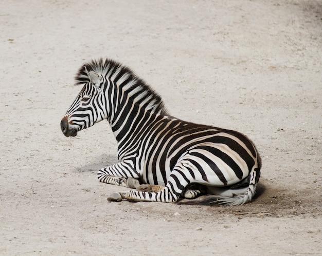 Крупным планом выстрел молодой зебры, лежащей на земле