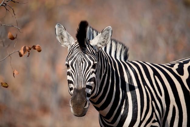 Снимок крупным планом зебры с размытым